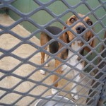 Beagle at Roodepoort SPCA