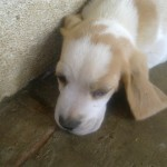 Pup for sale (Free State)