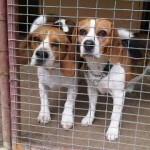 2 young beagles need forever home TOGETHER – JHB