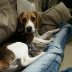 7 month old male beagle looking for forever home (Titan) – East Rand