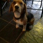 1 yr old male beagle looking for forever home (Leygo) – Centurion