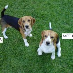 2 x 1year old female beagles looking for forever home (Mika & Molly) – Pretoria
