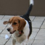 3 year old male beagle needs forever home (JHB)