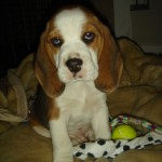 KZN BEAGLE CLUB NEWS