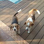 NEW HOME FOR KZN BEAGLES
