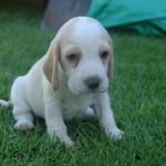 Pups for sale – Cape Town