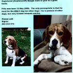 6 yr old male beagle needs a forever home – CAPE TOWN