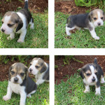 pups for sale – pta