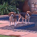 2 x female beagles need a forever home