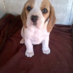 Female pup – Freestate