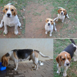 2 beagle brothers looking for a forever home – JHB