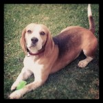 2 x five yr old beagle brothers looking for forever home (JHB)