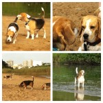 KZN BEAGLES BEACH WALK