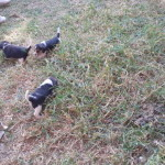 Pups for sale – JHB