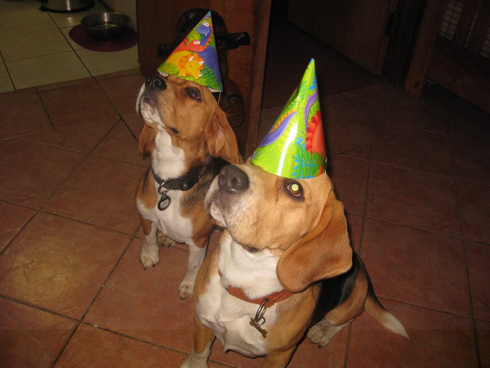 Beagle Birthday Cake Recipe Beagles Co Za