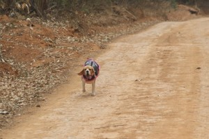 Penny finishing one of the lines.  Penny is from Gauteng and has not run any lines there, even though she has been going to hunts for 3 years now.  She always runs down here with us.  It shows - don't ever give up on your beagle!