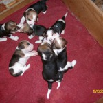Puppies – North West Province