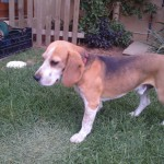 2 x 5 year old male beagles looking for forever home