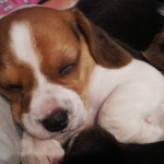 3 male beagle pups for sale – Cape Town