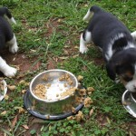 Pups for sale – Benoni