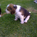 Pups for sale – Bloem (can travel)