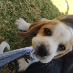 2 male pups for sale – PTA