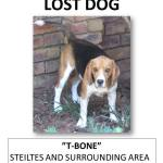 LOST beagle – Nelspruit area