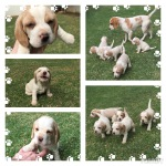 KUSA registered lemon beagles for sale – PTA East