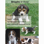 pups for sale – Bloem