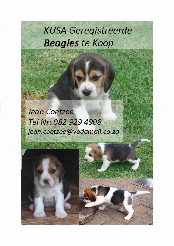 beagle-advertensie