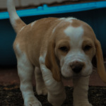 Male puppy available – Cape Town