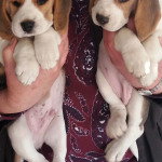 Pups for sale (mid September 2019)