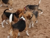 10-beagles-conversing-web