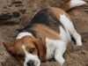 2-beagle-playing-in-the-sand-web